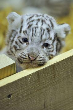 White Tiger Cub Photo by Josef Gelernter - Pixdaus Cute Tiger Cubs, Cute Tigers, Kittens Cutest, Cats And Kittens, Cute Cats, Big Cats, Beautiful Cats, Animals Beautiful, Beautiful Gorgeous