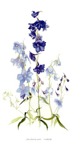 Delphinium, by Lyn Noble Botanical Drawings, Botanical Prints, Watercolor Flowers, Watercolor Paintings, Drawing Flowers, Watercolours, Delphinium Tattoo, Larkspur Tattoo, Colorado Wildflowers