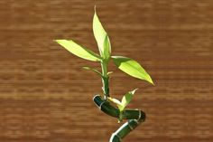 What to do if Lucky Bamboo turns yellow? Bamboo House Plant, Bamboo Plant Care, Lucky Bamboo Plants, House Plants, Bamboo Stalks, Bamboo Leaves, Plant Leaves, Container Plants, Container Gardening