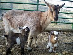 NIGERIAN DWARF GOATS....a miniature dairy goat breed from West Africa....measure 17 to 23.5 inches tall....popular as pets and milk.....easy maintenance and small stature....their high butterfat is used by some dairies to make cheese