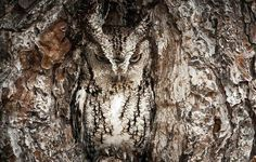 Owl incognito   photo by Graham McGeorge