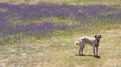 anatolian shepherd -