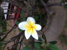 This is Jepun Flower.... You can find this flower in Indonesia