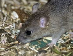 When it's cold outside,mice want to stay warm. That can mean they try to get inside your house.But, you can keep them away with these tips—and mouse traps or an exterminator won't even be necessary (especially if you don't like the dangerous chemicals that come with them). 1. Tabasco Sauce