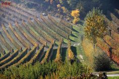 Vineyard view in the #Roero #Piemonte #Italy