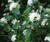 Carissa Bispinosa   in flower               Forest Num-num        Bosnoemnoem        5 m          S A  no 640,2              Photo:G Nichols