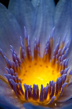 aglow - nymphaea caerulea, the sacred blue water lily of ancient egypt. Arising from the primeveal waters when the world was born, Nefertem arose from ist petals and seeing he was alone his tears created man...