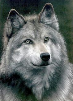 Beautiful color pencil drawing Grey Wolf by Colin Howard . Beautiful Creatures, Animals Beautiful, Cute Animals, Draw Animals, Wild Animals, Wolf Spirit, Spirit Animal, Wolf Pictures, Animal Pictures