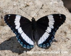 Restoring The Landscape With Native Plants: Red Spotted Admiral Butterfly ~ Limenitis arthemis