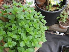 The Herbal Tea Garden: Our Faves