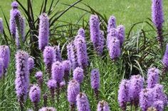 Blazing Star for Landscaping