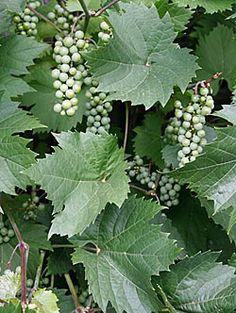 Ein Garten wie in Bella Italia - Mein schöner Garten grapes, why not for your garden ?