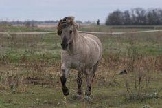 Sally Kjorsvig's imported grå stallion, Runar