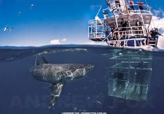 White shark - Cage diving..wanna do this. Stunning!