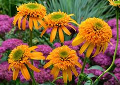 Echinacea 'Secret Glow'  is precisely school bus yellow, nothing less. It stands out in a crowd for its unusual color as well as its unusually high flower count, averaging 35 large flowers per plant, the first year!