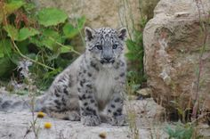 Endangered #SnowLeopards Born at @Twycross Zoo #bigcats #cats