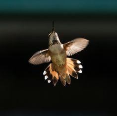 Rufous Hummingbird by Geoffrey Shuen on 500px