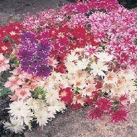 PHLOX drumondii Twinkle Mixed - Brumarele Twinkle Twinkle, Plant