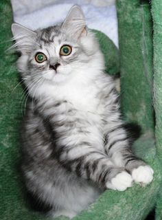 Ragamuffin kitten - probably what Naira looked like as a kitten. Ragamuffin Kittens, Kittens Cutest, Cats And Kittens, I Like Dogs, Domestic Cat, Beautiful Cats, Cool Cats, Mink, Fur Babies