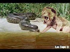 Thế giới động vật Chơi không lại trăn sư tử gọi đàn em ra thanh toán món...