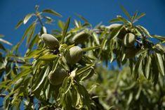 Meglepően könnyű mandulafát nevelni Almond Farm, Spain, Stock Photos, Fruit, Almonds, Gardening, House, Ideas, Decor