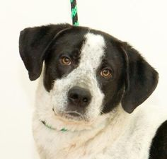 Everett - Pointer mix - Male - 2 yrs old - Humane Society of Greater Dayton - Dayton, OH. - https://www.hsdayton.org/programs-services/adoptions/dogs.html - https://www.facebook.com/humanesocietydayton/ - https://www.petfinder.com/petdetail/37474133