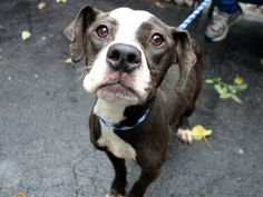 SAFE 6-8-2015 by Amsterdog Animal Rescue --- Manhattan Center JOONMARIE – A1038273 FEMALE, GRAY, PIT BULL MIX, 3 yrs STRAY – STRAY WAIT, NO HOLD Reason STRAY Intake condition ILLNESS Intake Date 06/01/2015
