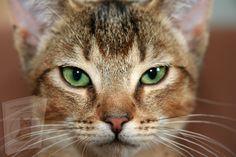 Cute Kittens, Cats And Kittens, Best Cat Breeds, Cat Care Tips, Face Photo, Cat Behavior, Domestic Cat, Cat Face, Cat Memes