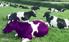 I never saw a purple cow, I hope I never see one. But if I saw a purple cow, I'd rather see than be one. I remember that poem from my childhood, DG Purple Cow, Purple Haze, Shades Of Purple, Farm Animals, Cute Animals, My Favorite Color, My Favorite Things, All Things Purple, Purple Stuff