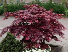 Bloodgood Japanese Maples are beautiful small and slow growing ornamental decidous trees. Deep purple in summer they turn a gorgeous scarlet in Autumn