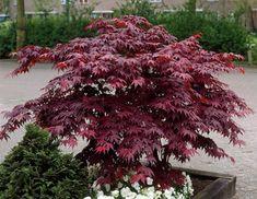 "Japanese Maple Bloodgood 10″ Pot $59.90 Acer Palmatum ""Bloodgood"""