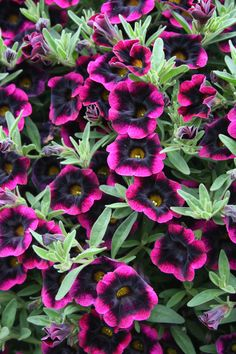 These are soooo cool in hanging baskets and trailing over the edge of pots! Superbells® Blackberry Punch - Calibrachoa hybrid