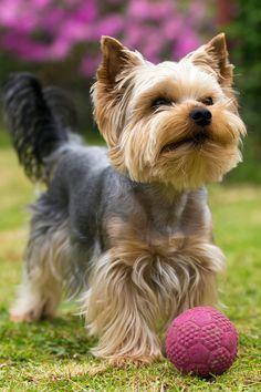 Yorkie Poo Haircut, Yorkie Cuts, Chien Yorkshire Terrier, Yorkshire Terrier Haircut, Yorky Terrier, Yorshire Terrier, Yorkshire Macho, Yorkshire Dog, Yorkies