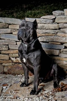 Cane Corso. So unbelievably in love with these dogs