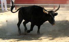 Cruel and Dangerous Bull Runs Coming to a Town Near You