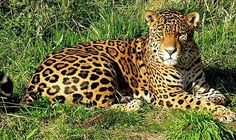 """As you might know, most jaguars are covered in beautiful spots. However, there are a small percent (6%) that are all black (but sometimes they may still have visible spots) and are known as """"black panthers""""."""