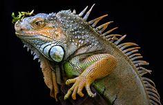 Curiosity by Fahmi Bhs…pretty! Les Reptiles, Cute Reptiles, Reptiles And Amphibians, Green Iguana, Head Shapes, Crocodiles, Tortoises, Wild Ones, Big Cats