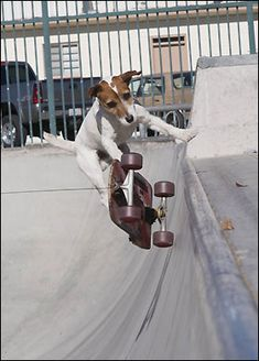 Hang time ... pooch rides a pipe  Talented skateboarder Auggie, six, can do trick jumps down steps and tackle steep ramps.    Read more: http://www.thesun.co.uk/sol/homepage/news/2019340/Dogs-learn-to-skateboard.html#ixzz28dul8YZ9