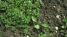 Ešte vám nerastie vzáhrade burina zvaná kuračka? Netešte sa, za pár dní sa určite objaví. Herbs, Plants, Herb, Plant, Planets, Medicinal Plants