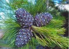 Хвоя и шишки сибирского кедра (Pinus sibirica)