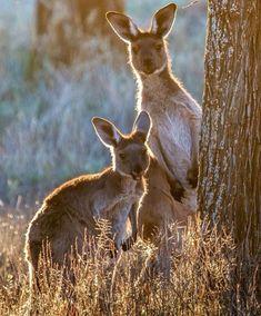 kangaroo phototoartguy: Curiosity by Martin Forjan Nature Animals, Animals And Pets, Baby Animals, Cute Animals, Strange Animals, Cute Creatures, Beautiful Creatures, Animals Beautiful, Tier Fotos