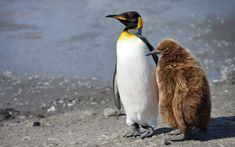 Adult King Penguin (Aptenodytes patagonicus) and chick. King Penguin Creche. Salisbury Plain, South Georgia, Sub-Antarctic - King-Penguin-Chicks-In-Creche-South-Georgia-Sub-Antarctic - Mike Reyfman Photography