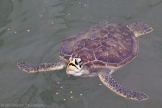 Turtle Hospital, Marathon Florida
