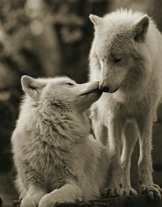 Image result for wolves love