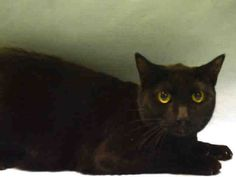 BETTY - A1096659 - - Manhattan  Please Share:***TO BE DESTROYED 11/29/16***PURRFECT PANTHER…TWO YEARS OLD….DROPPED OFF AT POLICE PRECINCT…GREAT AVERAGE RATING….VOLUNTEER NOTE… -  Click for info & Current Status: http://nyccats.urgentpodr.org/betty-a1096659/