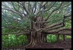 Web of wood, Banyan tree. Haleakala National Park,Part of gallery of color pictures of US National Parks by professional photographer QT Luong, available as prints or for licensing. Tree Hd Wallpaper, Weird Trees, Park Pictures, Old Trees, Tree Trunks, Us National Parks, Science And Nature, Tree Of Life, Trees To Plant