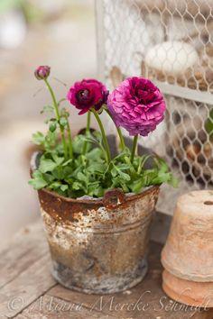 Ranunculus in an old bucket. By Blomsterverkstad Cottage Garden Design, Cottage Garden Plants, Garden Pots, Plantation, Ranunculus, Ikebana, Dream Garden, Garden Inspiration, Beautiful Gardens