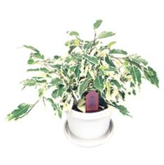 Want to know how to grow ficus? Get tips for caring for this indoor plant, including how to water ficus and more. It's one of the best houseplants! Ficus, Houseplants, Indoor Plants, Fairy, Gardening, Inside Plants, Indoor House Plants, Lawn And Garden, Figs