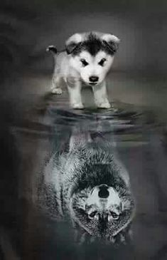 Wolf pup reflection