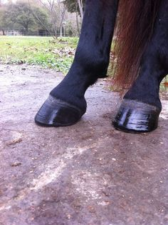 Coconut hoof oil with essential oils: 1/2 cup of softened coconut oil 5 drops of…